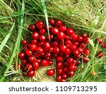 ripe red cherries on a green... | Shutterstock . vector #1109713295
