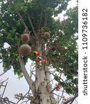 cannonball tree and fruits in... | Shutterstock . vector #1109736182