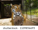 tiger in nature | Shutterstock . vector #1109856695