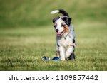 Mini Australian Shepherd Puppy...