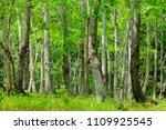 fresh green forest | Shutterstock . vector #1109925545