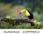 Stock photo famous tropical bird with enormous beak keel billed toucan ramphastos sulfuratus perched on a 1109998412