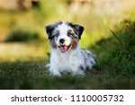 Stock photo mini australian shepherd puppy lying down outsoors 1110005732