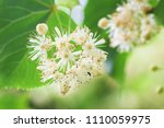 Basswood Flowers On Tree With...