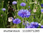 Blue Cornflowers In The Garden...