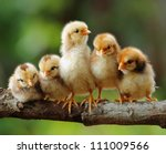 cute chicks | Shutterstock . vector #111009566
