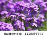 purple flowers in the field... | Shutterstock . vector #1110095942