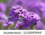 purple flowers in the field... | Shutterstock . vector #1110095945