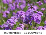 purple flowers in the field... | Shutterstock . vector #1110095948