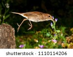nightingale  luscinia... | Shutterstock . vector #1110114206
