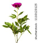 red peony flower isolated on... | Shutterstock . vector #1110123125