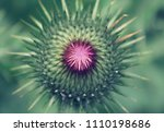 thistle blooming on a garden.... | Shutterstock . vector #1110198686