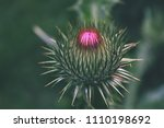 thistle blooming on a garden.... | Shutterstock . vector #1110198692