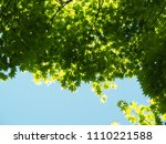 Green Maple Leaves With Blue Sky