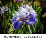 Blooming Iris  Iris Sibirica ...