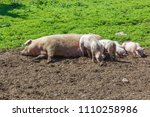 Pig With Piglets Who Is...