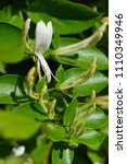 Small photo of Japanese honeysuckle flower and buds - Latin name - Lonicera japonica