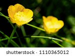 two delicate creeping buttercup ... | Shutterstock . vector #1110365012