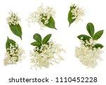 elder flowers isolated on white.   Shutterstock . vector #1110452228