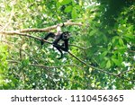 A Spider Monkey Moving Through...