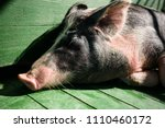 hog waiting feed. pig indoor on ... | Shutterstock . vector #1110460172