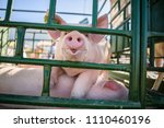 hog waiting feed. pig indoor on ... | Shutterstock . vector #1110460196