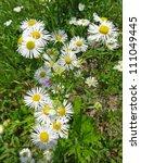 annual fleabane  erigeron... | Shutterstock . vector #111049445