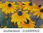 black eyed susan flowers on a... | Shutterstock . vector #1110505922