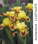 group of yellow irises in the... | Shutterstock . vector #1110716375