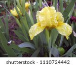 group of yellow irises in the... | Shutterstock . vector #1110724442