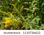 solidago  commonly called... | Shutterstock . vector #1110736622