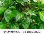 betel leaf is a traditional... | Shutterstock . vector #1110876032