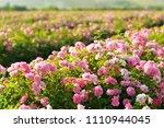 pink rose bush closeup on field ... | Shutterstock . vector #1110944045