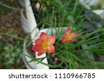 red rain lily blooming in... | Shutterstock . vector #1110966785