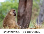 yellow baboon in the south... | Shutterstock . vector #1110979832