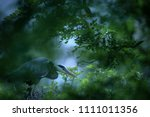 grey heron  ardea cinerea ... | Shutterstock . vector #1111011356