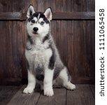 Siberian Husky Puppy On Wood...