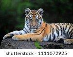 tiger of siberia   Shutterstock . vector #1111072925