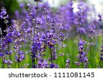 lavender flowers and bee | Shutterstock . vector #1111081145