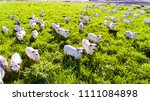livestock  cattle ranch nelore... | Shutterstock . vector #1111084898