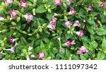 wild purple flowers. | Shutterstock . vector #1111097342