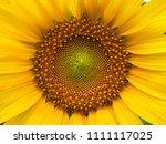 close up sunflowers helianthus... | Shutterstock . vector #1111117025