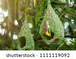 nature of wildlife   weaver... | Shutterstock . vector #1111119092