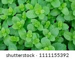 top views of fresh mint leaves... | Shutterstock . vector #1111155392