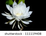 The Epiphyllum Night Blooming...