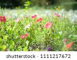 wild pink flowers growing in... | Shutterstock . vector #1111217672