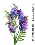 bush vetch   vicia sepium  ... | Shutterstock . vector #1111235348