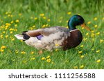male duck in a meadow with... | Shutterstock . vector #1111256588