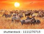herd of wild zebras and... | Shutterstock . vector #1111270715