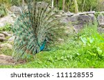 Small photo of A male peacock showing off his tail feathers